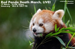 red-panda-bamboo2